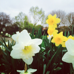 Spring, Daffodils, Flowers, Nature, Blog A Book Etc, Fay