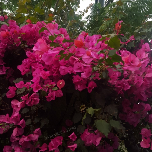 The Eden Project, Nature, Cornwall, Day Trip, England, Blog A Book Etc, Fay, Mediterranean Biome, Bougainvillea, Pink, Flower, Plant